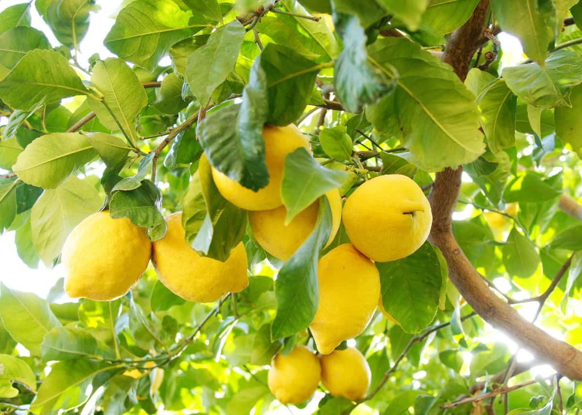 lemon trees can even be grown indoors as a houseplant as long as they get enough sun