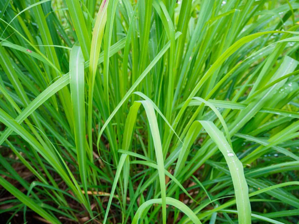 lemongrass adds a delicious scent to the yard