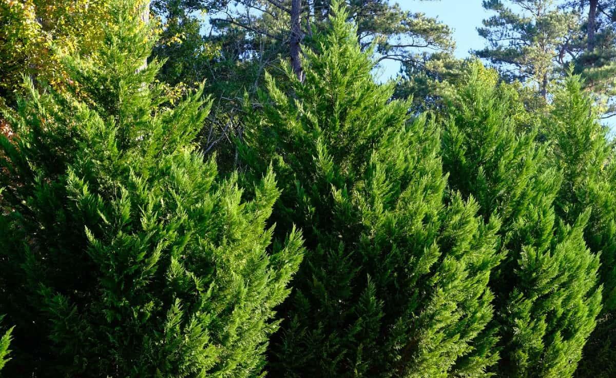 the Leyland cypress is a conifer that grows about three feet a year