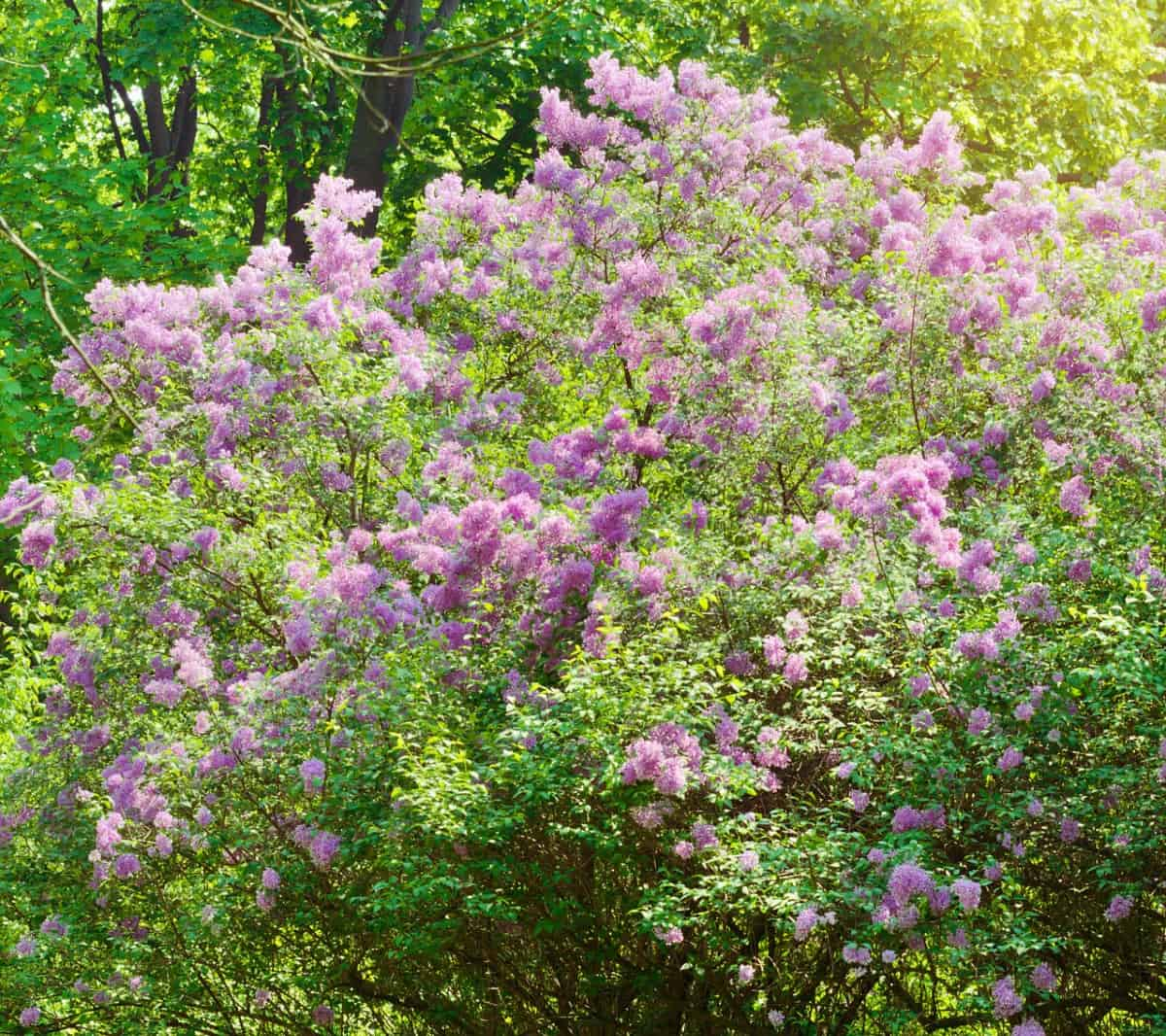 the lilac bush offers both privacy and a delightful scent