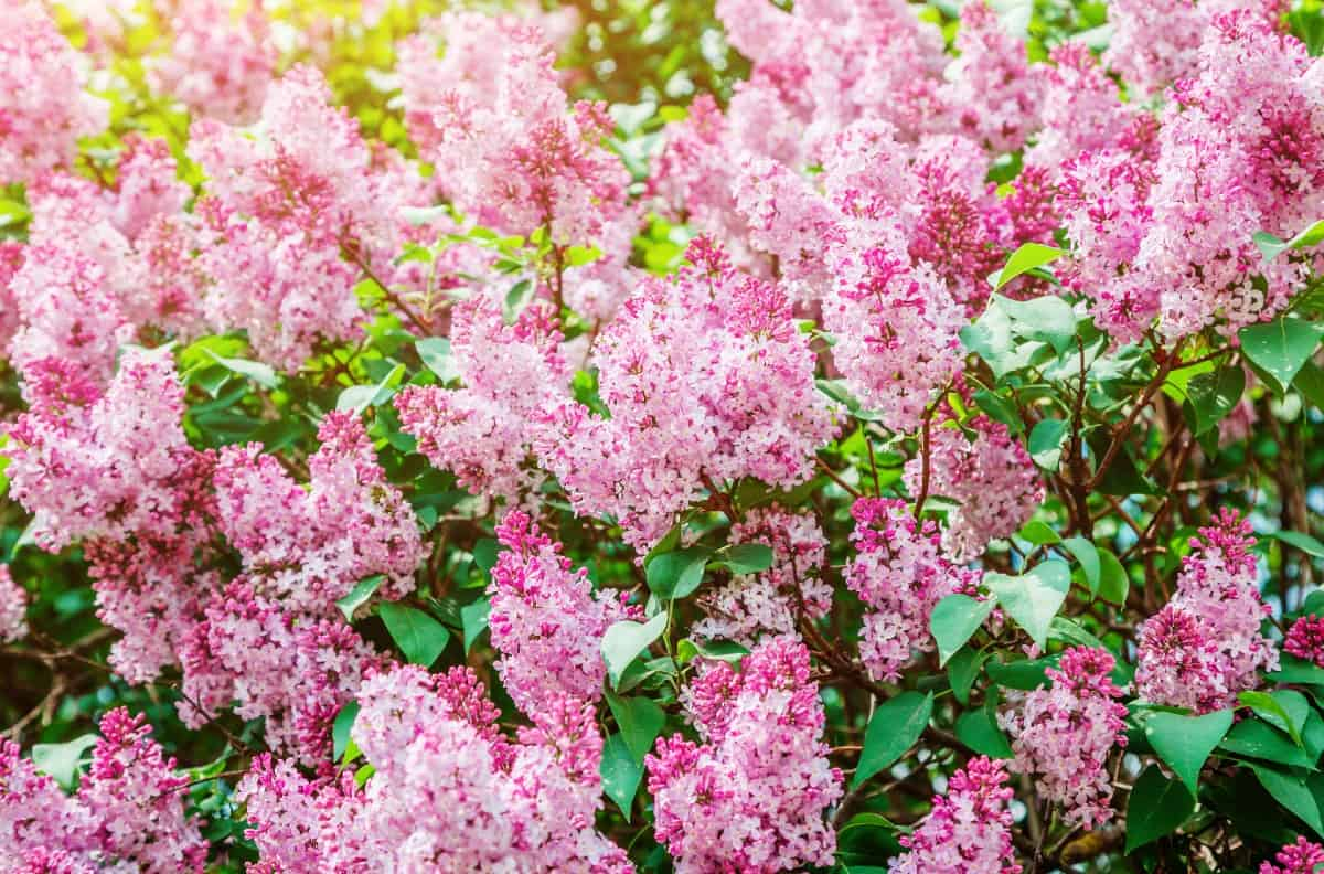 blooming lilac bushes smell heavenly