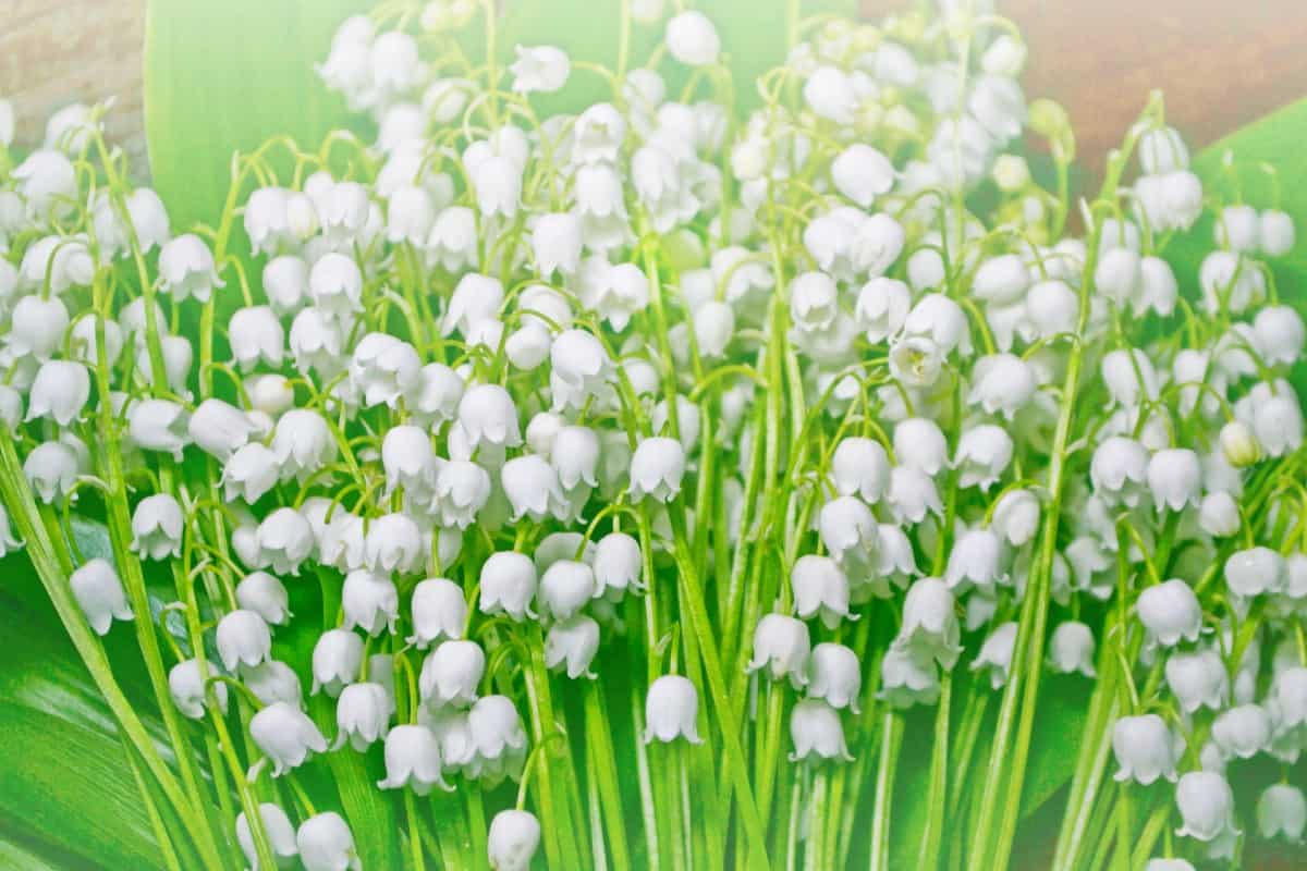 lily of the valley has an almost intoxicating aroma