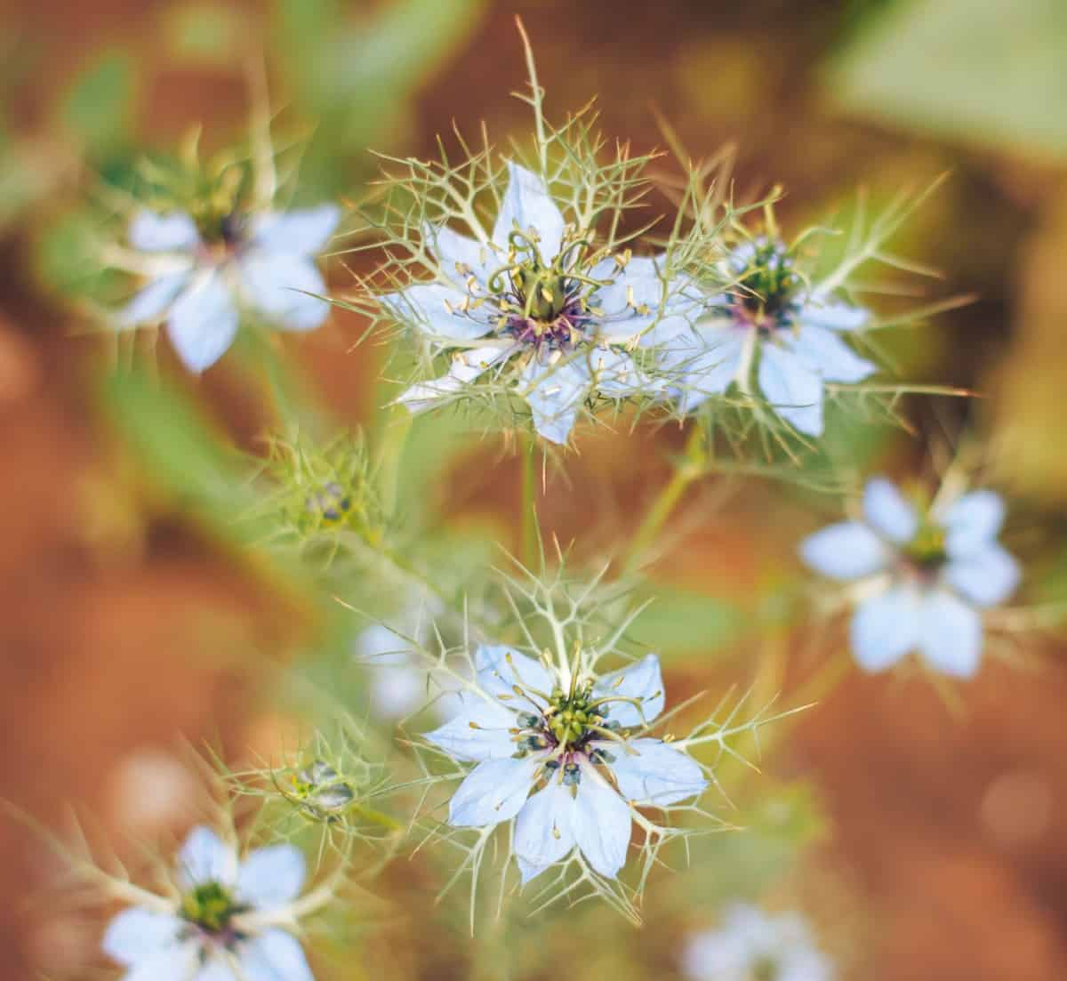 love-in-a-mist is an unusual flower that is great for cutting