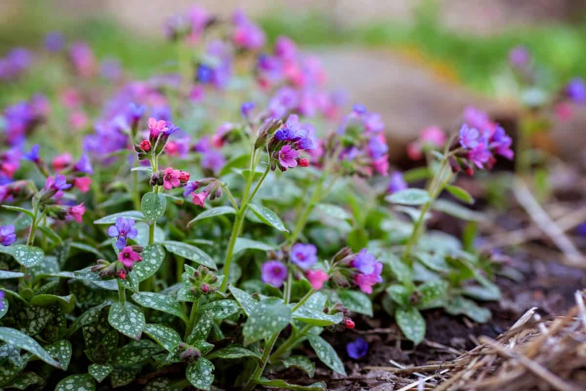 lungwort offers attractive flowers and foliage
