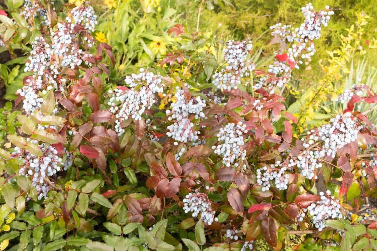 mahonia is an attractive evergreen shrub