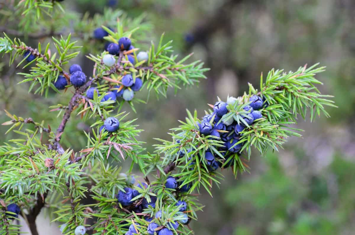 the Maney juniper shrub can handle a variety of weather extremes and still do well