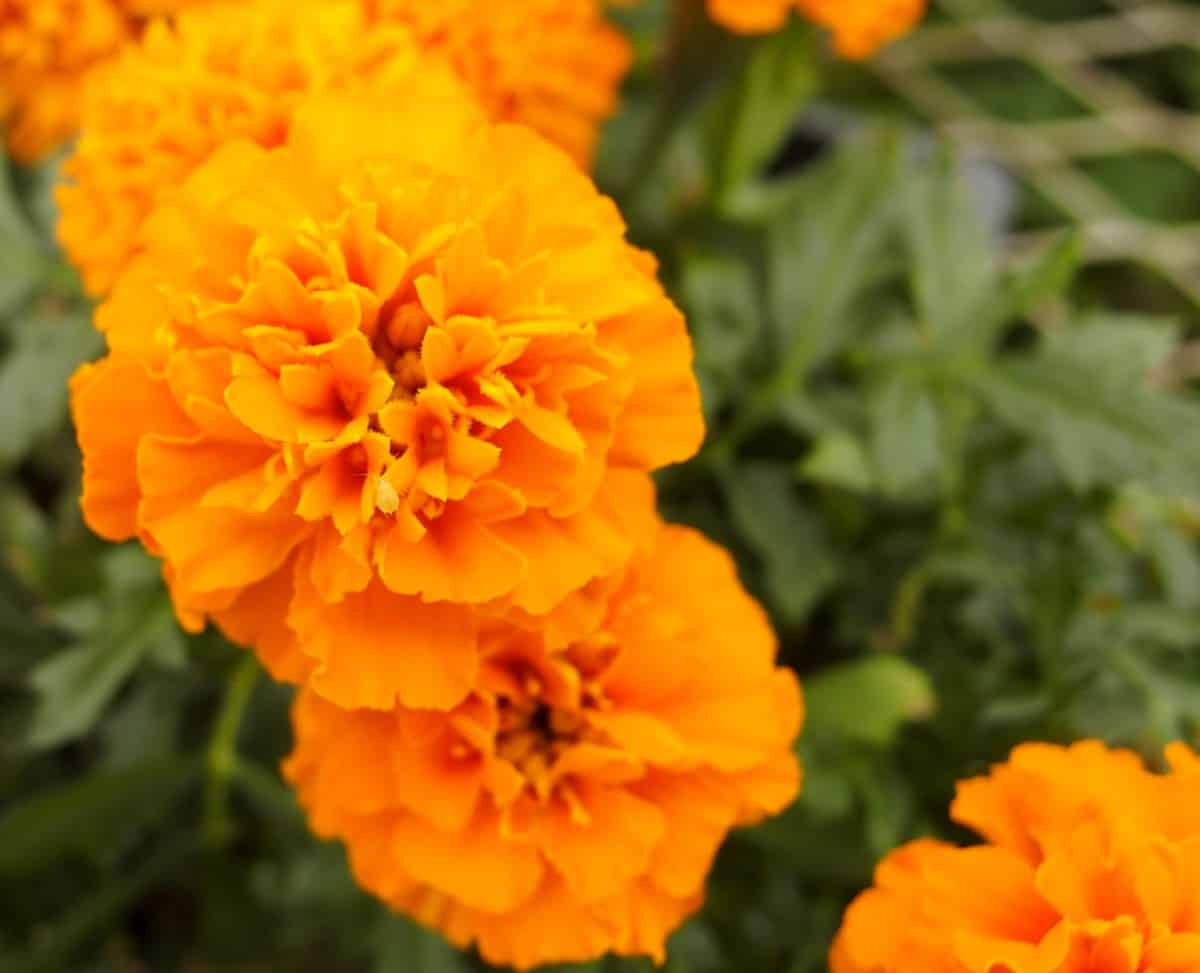marigolds in pots need to be in the sun