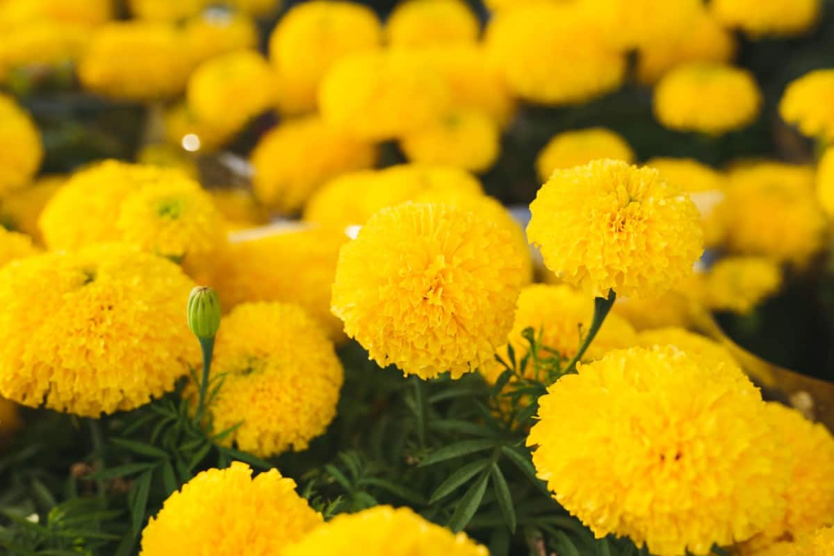 marigolds are one of the easiest plants to grow from seeds