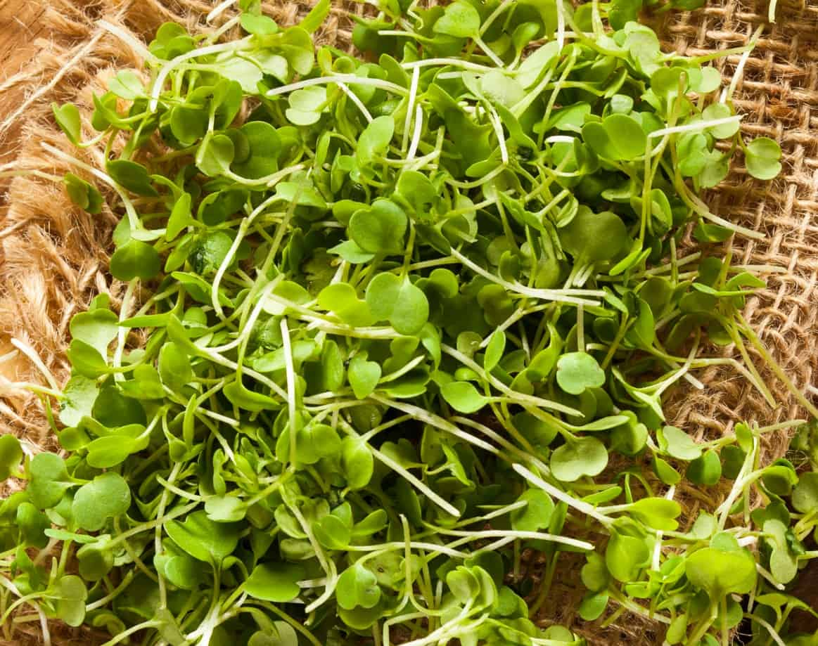 microgreens are the result of early harvesting of ordinary veggies