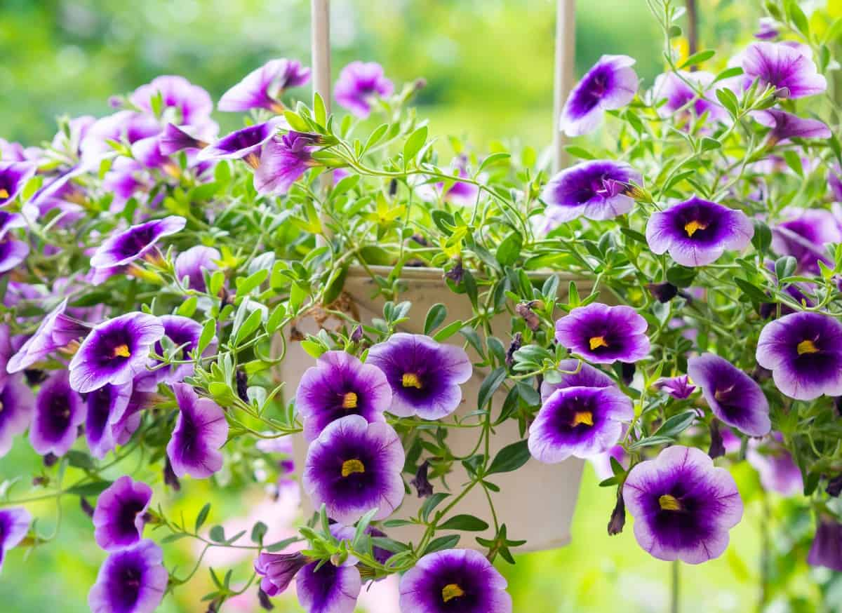 million bells is known for its bright, prolific flowers