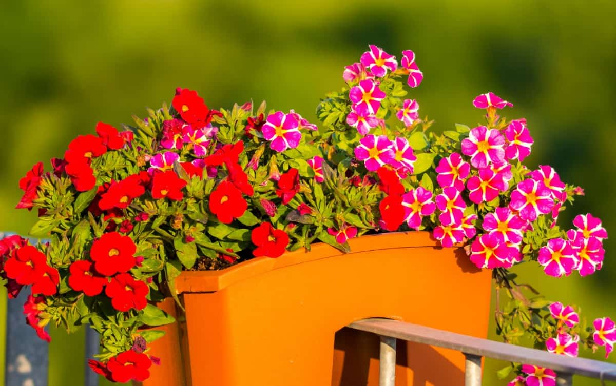 million bells has cascading flowers that work well for hanging containers