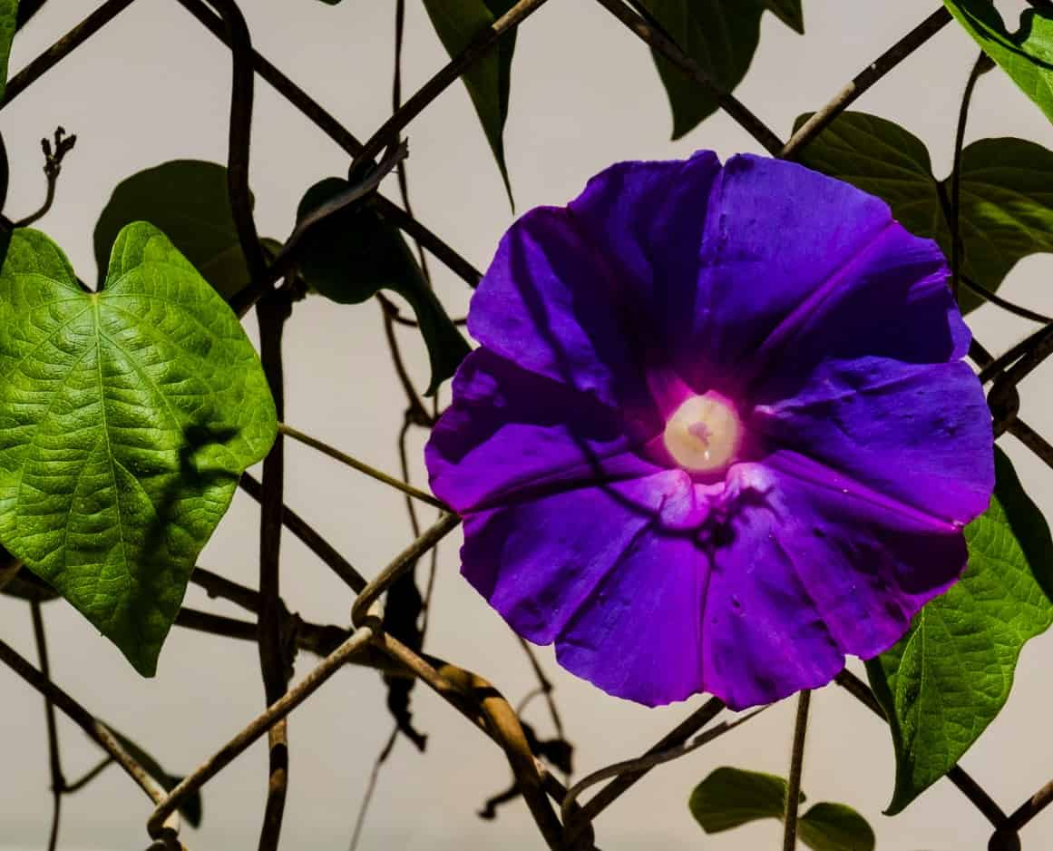 morning glory flowers are annual climbers