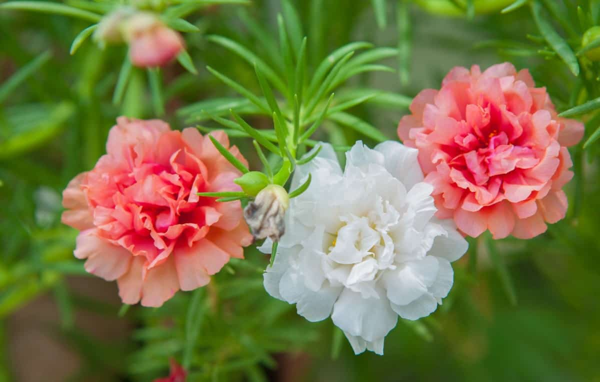 the moss rose has attractive thick succulent-like leaves