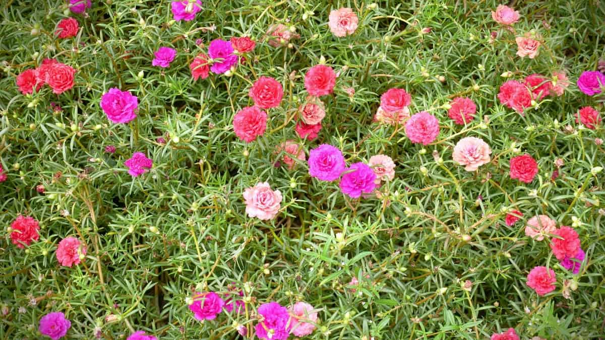 moss rose is a spreading ground cover that loves the sun