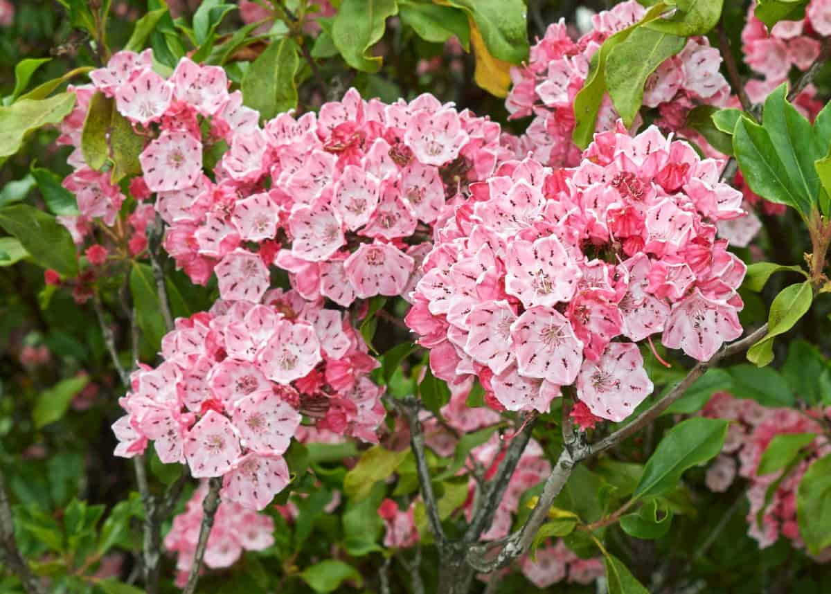 mountain laurel is easy to grow and blooms in late spring