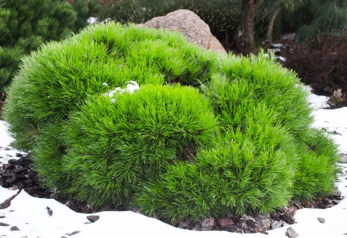 mugo pines are drought-tolerant small trees
