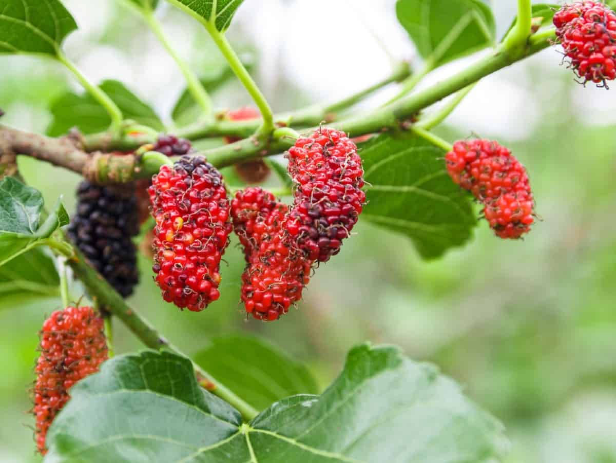 mulberry trees have been around for centuries