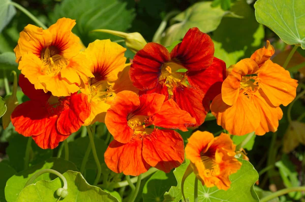 nasturtiums offer attractive flowers and foliage