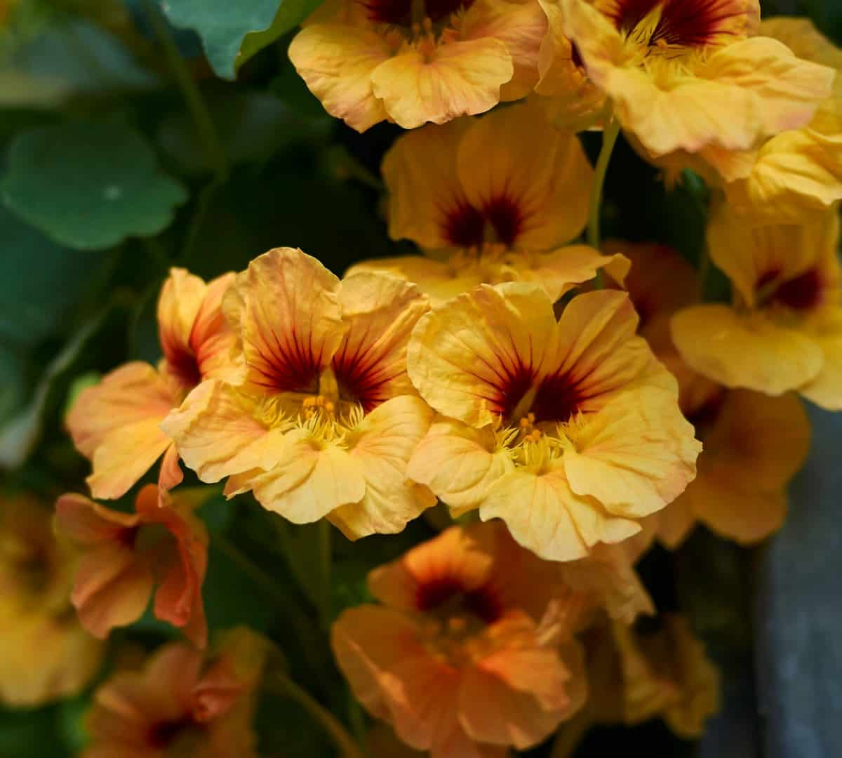 nasturtiums can grow almost anywhere