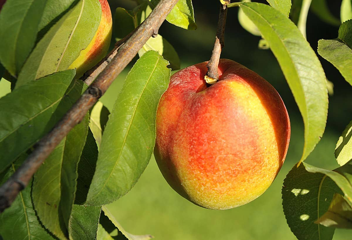 the secret to growing nectarine trees is to trim them frequently