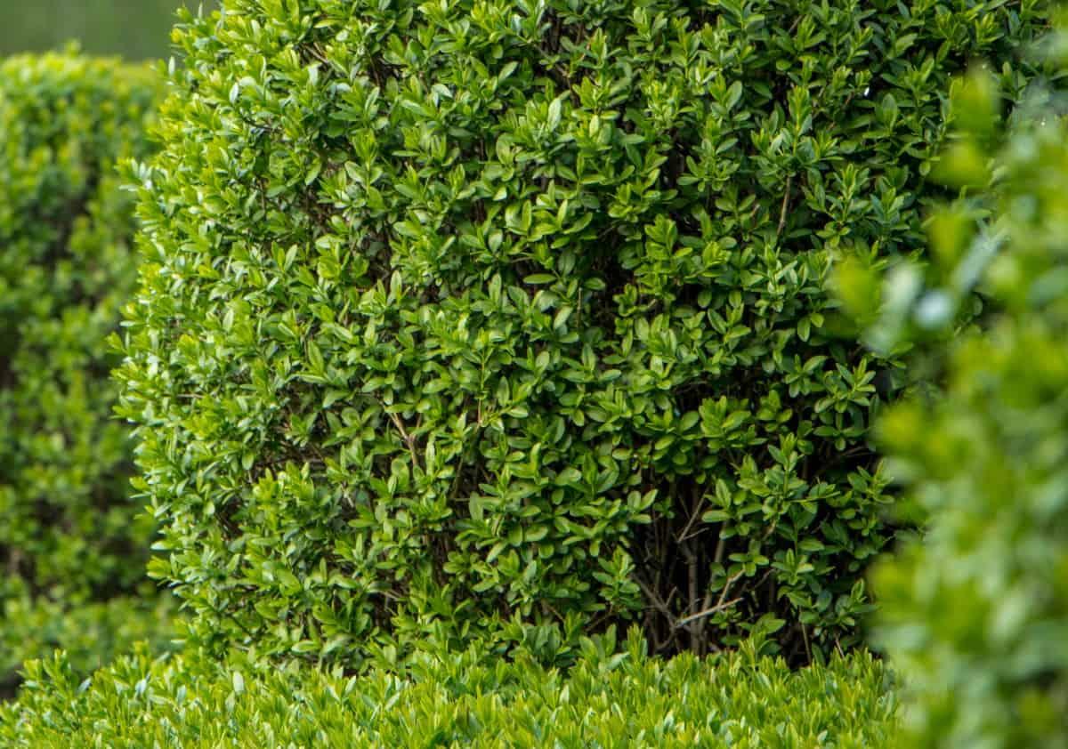 North privet is a common evergreen shrub