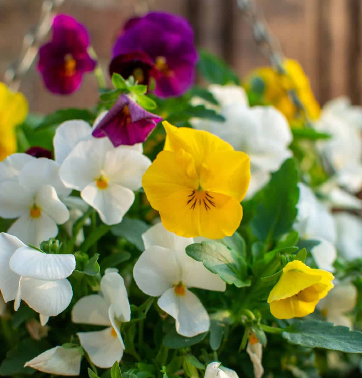 pansies grow well just about anywhere you plant them