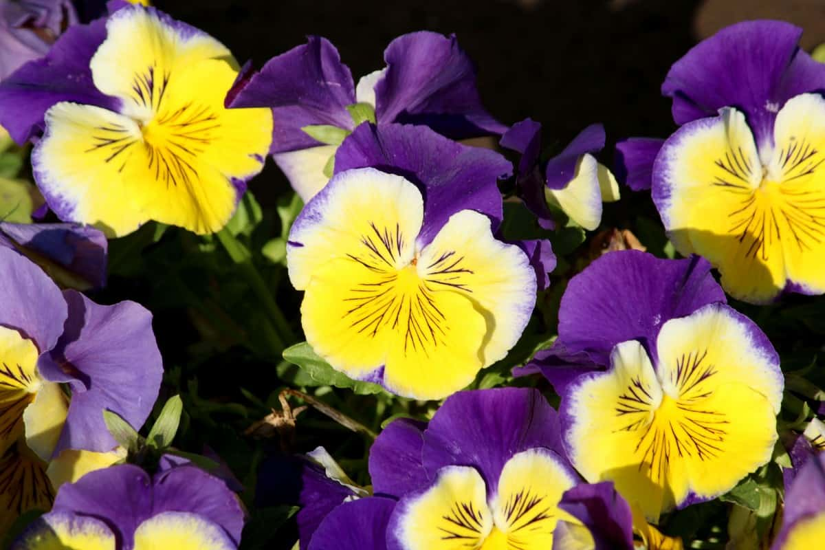 pansies are a favorite flower for hanging plants