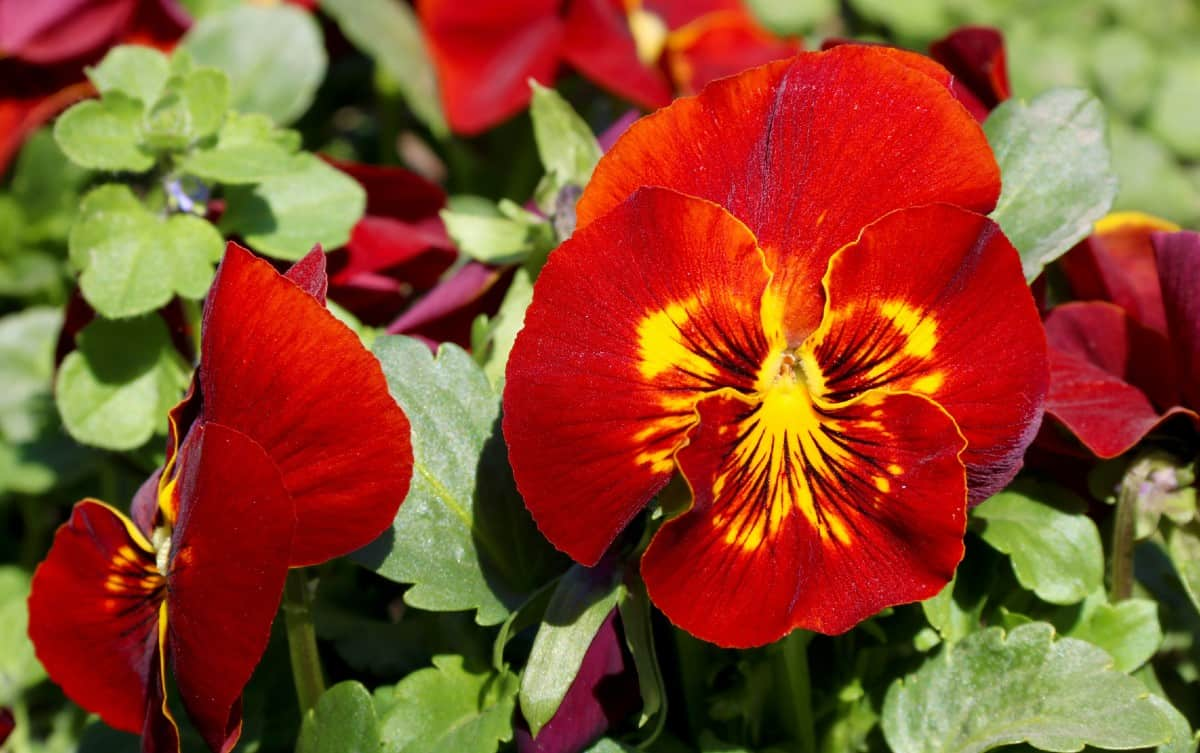 pansies look great in hanging baskets or as ground cover