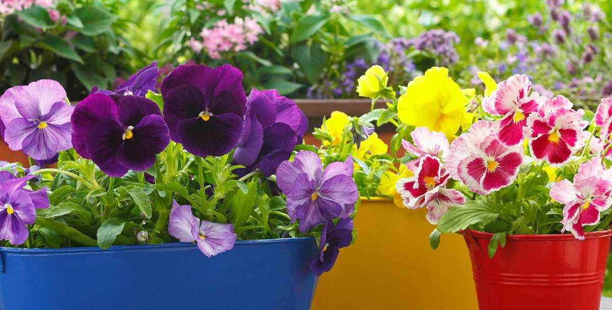 pansies are cheerful flowers