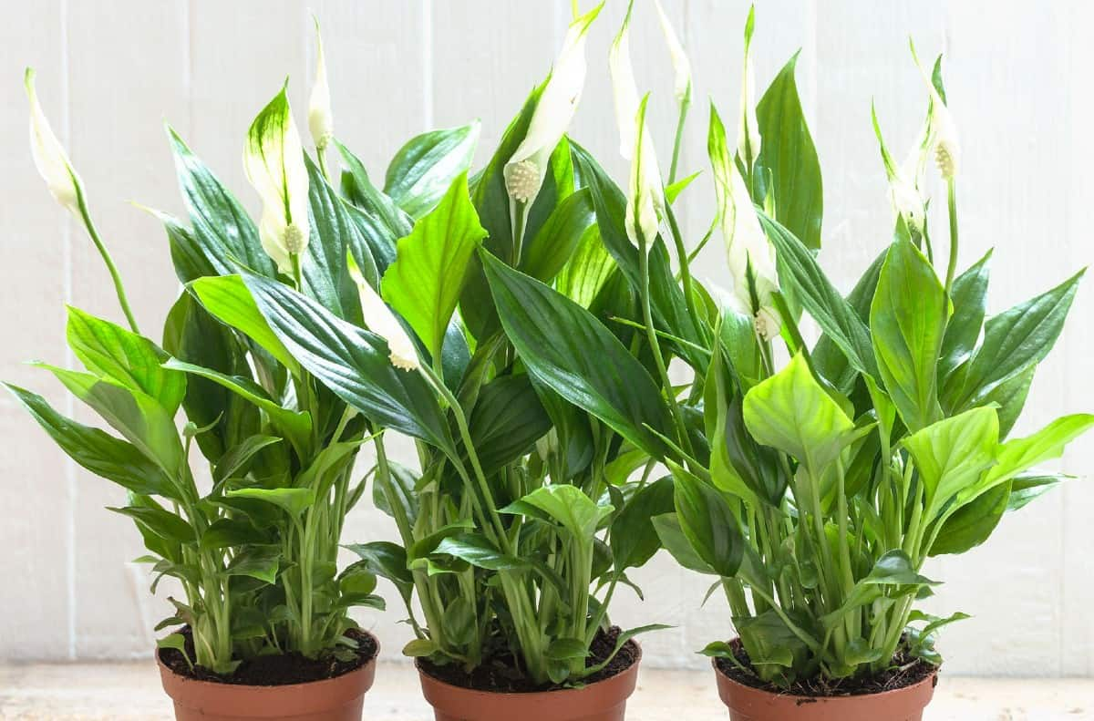 the peace lily is a potted plant that prefers indirect light