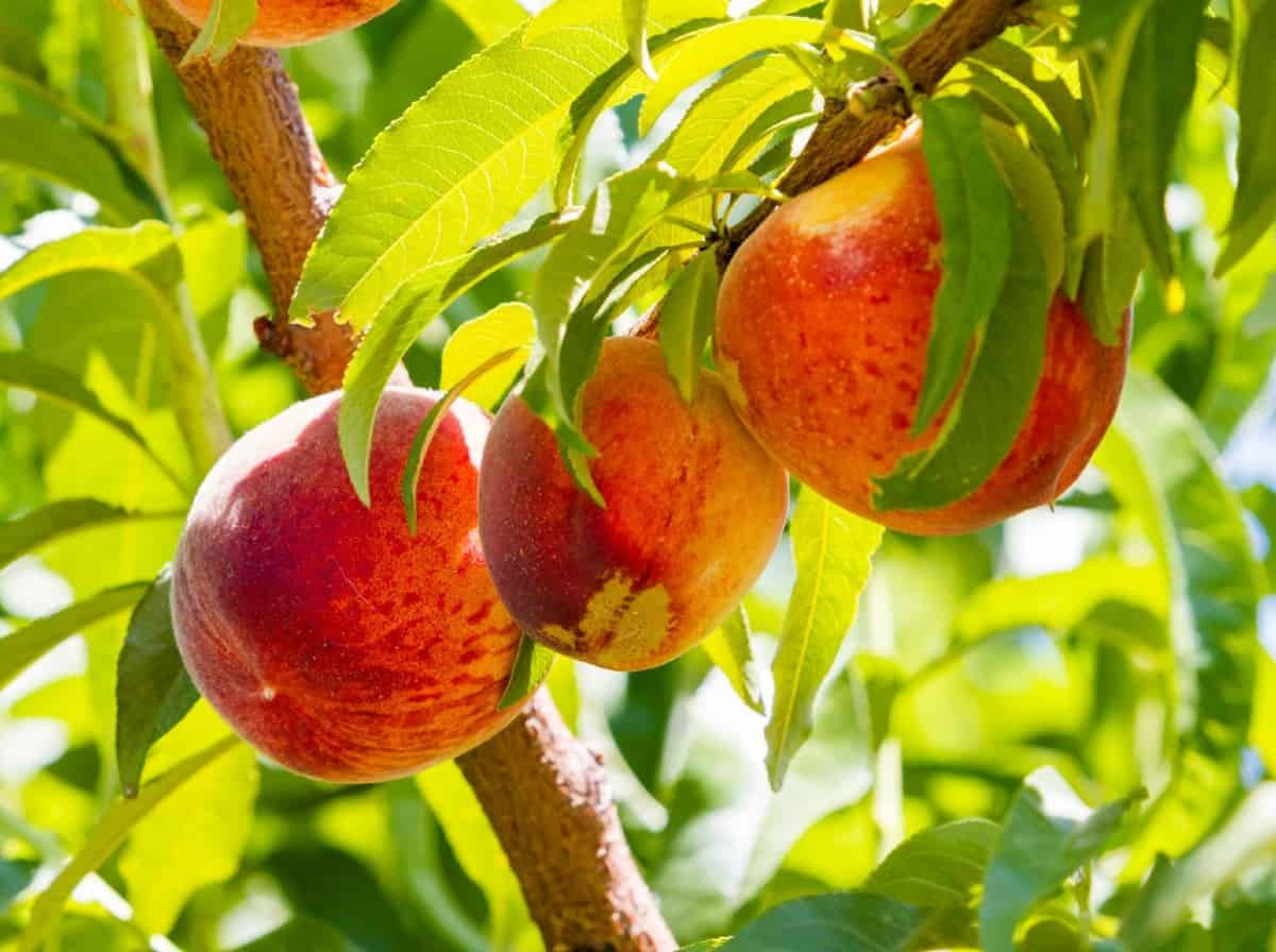 peach trees are self-pollinating fruit trees