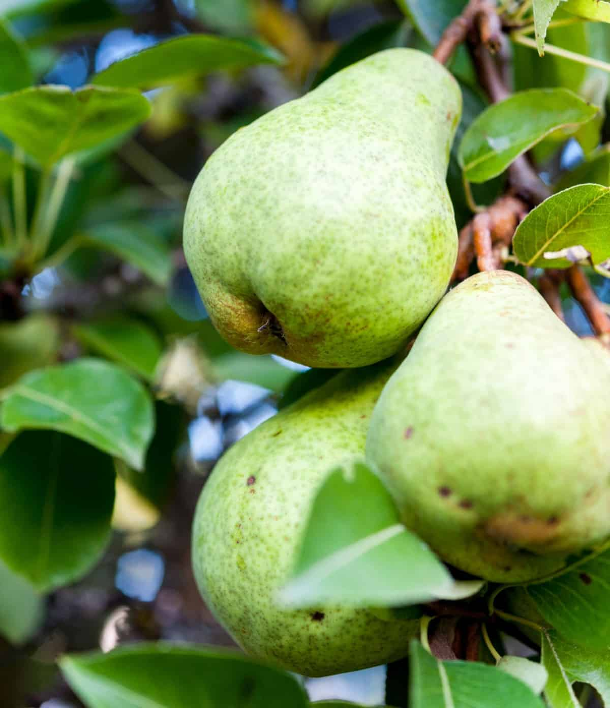 pears are one of the easiest fruit trees to grow
