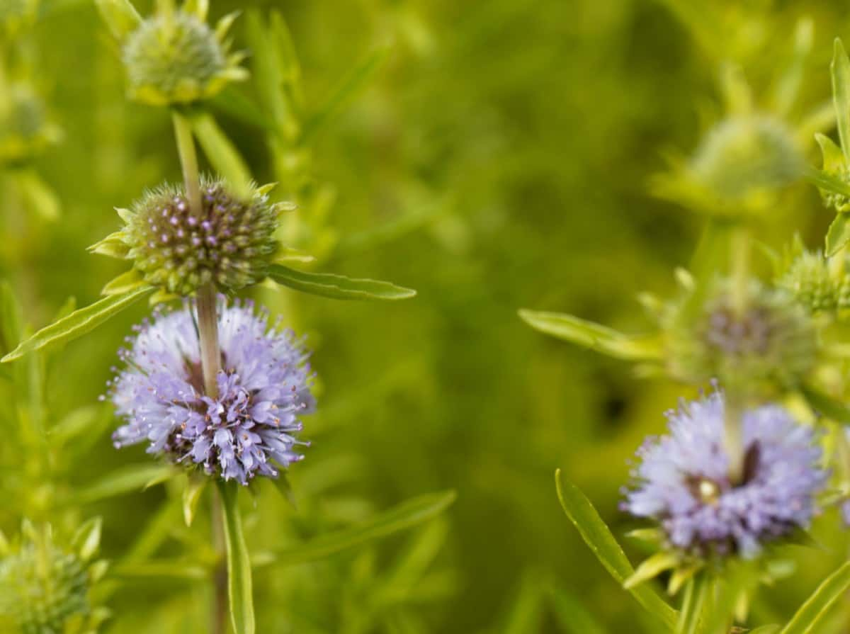 pennyroyal repels mosquitoes and many other unwanted insects