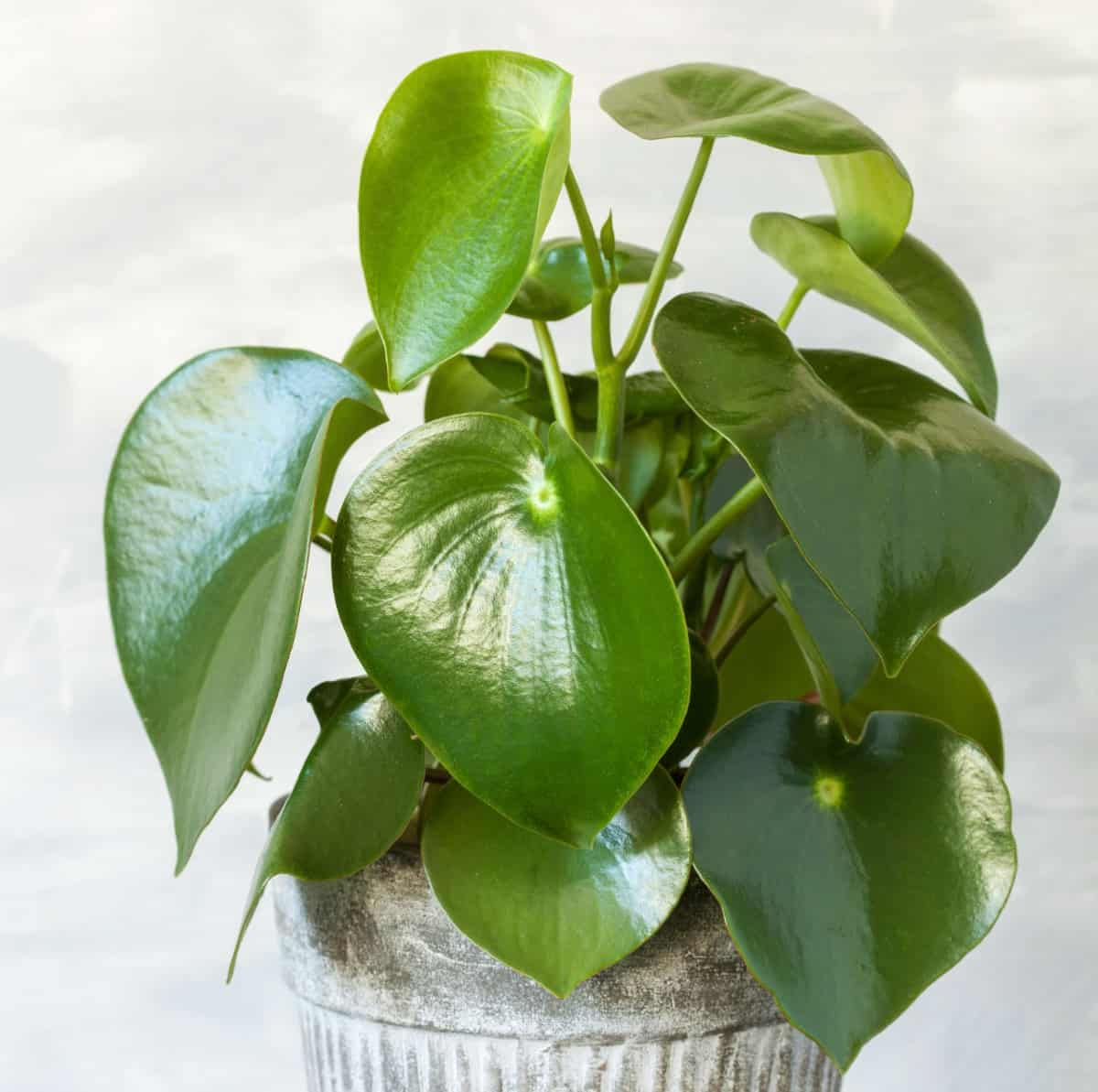 peperomia is a low maintenance tropical indoor plant