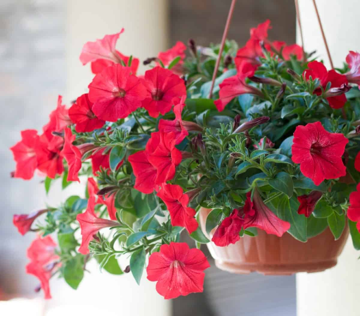 petunias have bright colors and a delightful scent