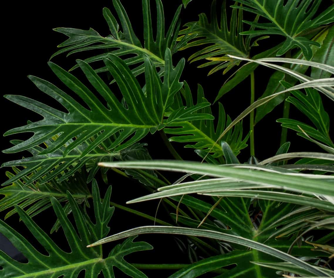 philodendrons are highly adaptable plants