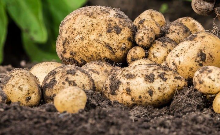 potatoes prefer cooler temperatures