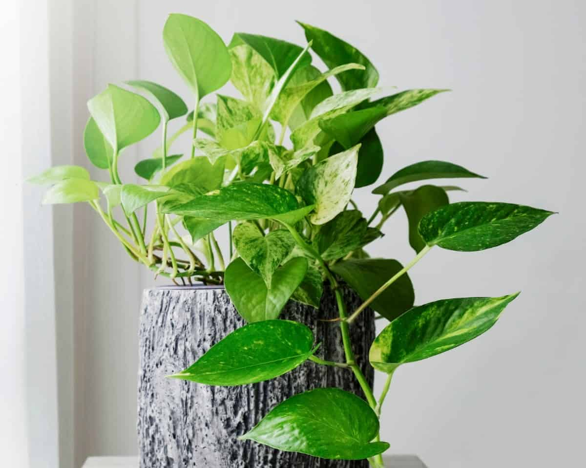 pothos is happy with just a little light