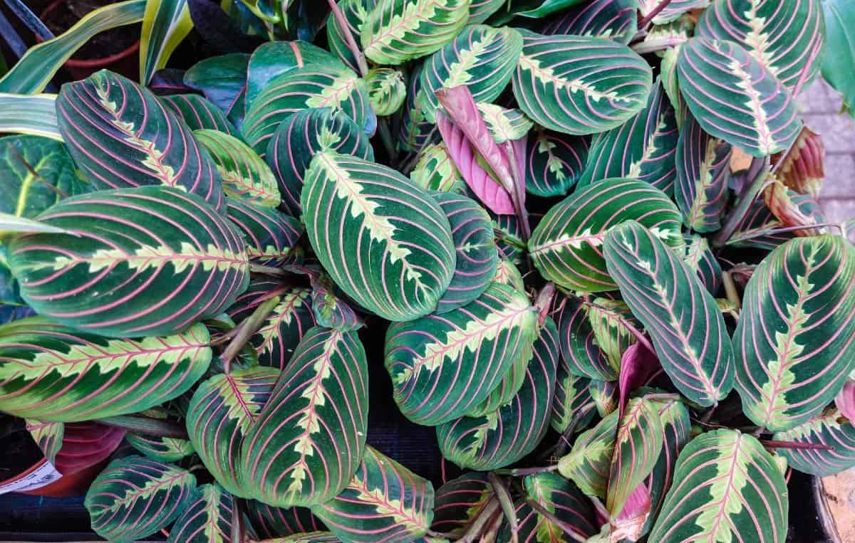 the leaves of the prayer plant fold up at night