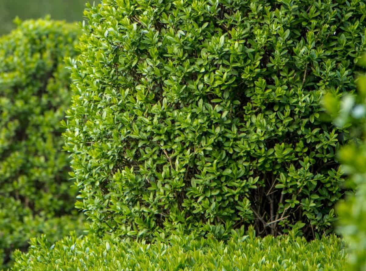 privet grows just as well in a container as it does the yard