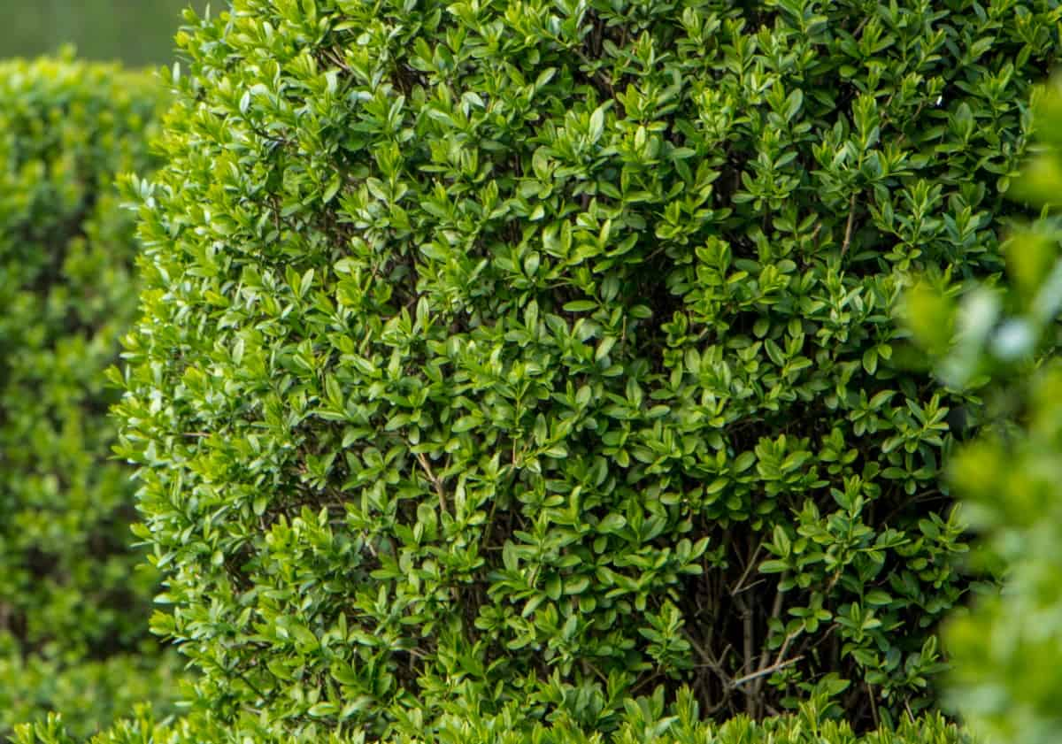 privet is one of the most popular privacy shrubs