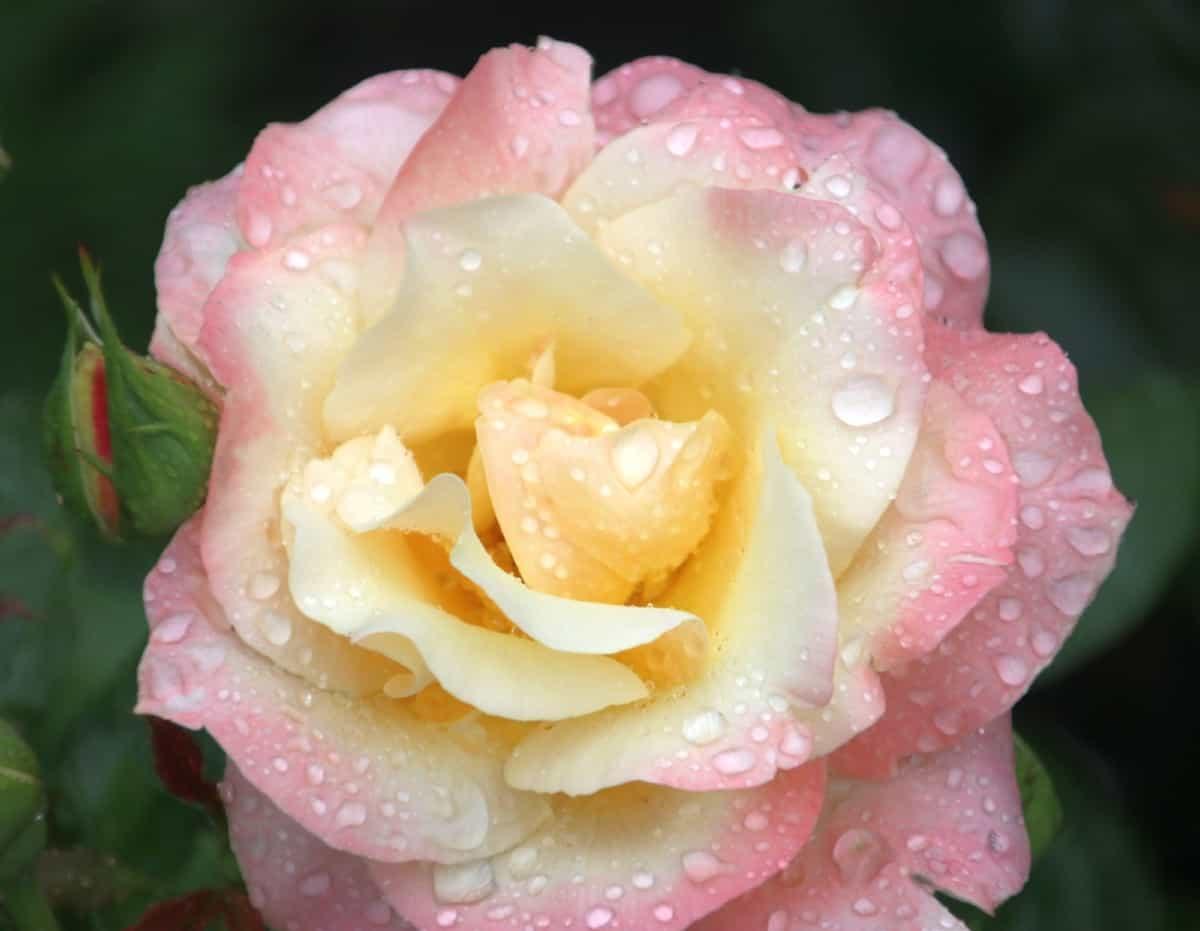 it's easy to grow the Queen Elizabeth rose bush