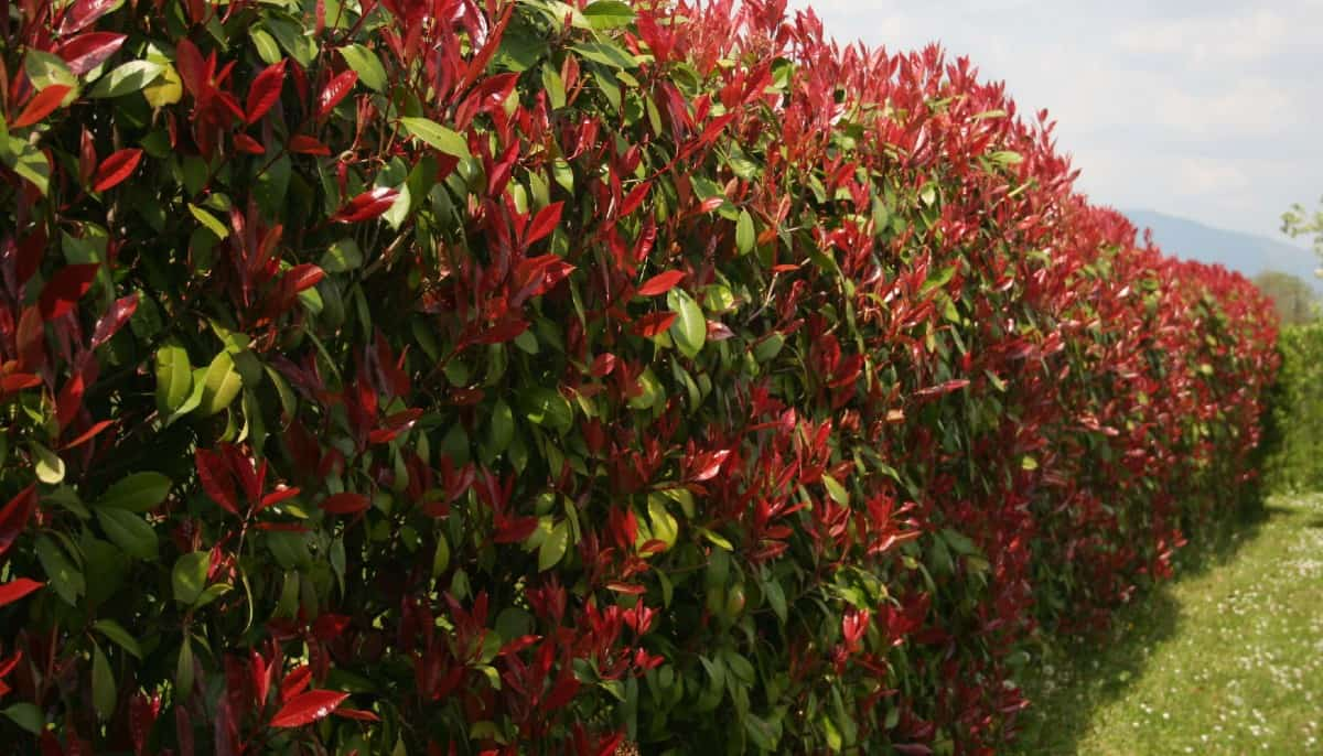 red robin or Fraser photinia, has spectacular color