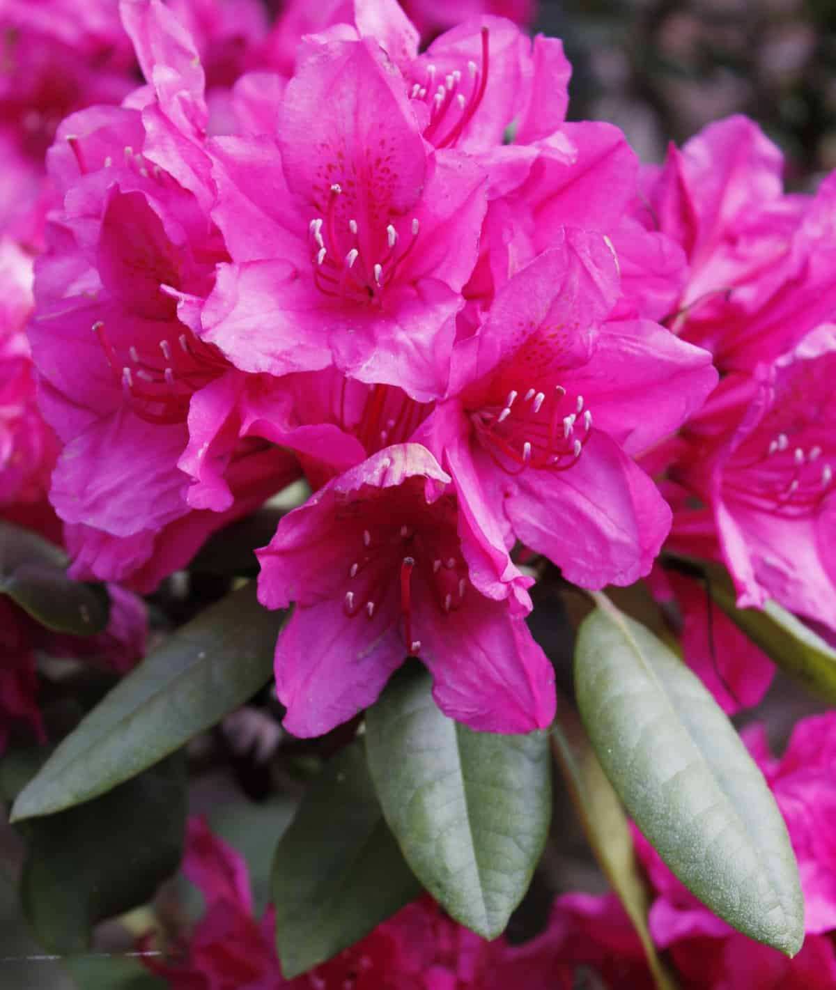 rhododendrons make an ideal evergreen container plant