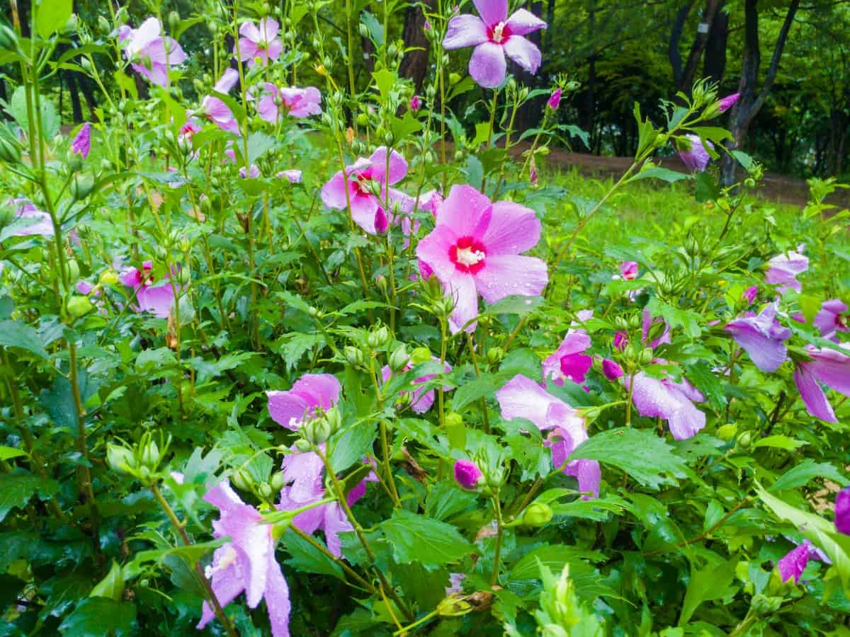 hummingbirds love the flowers of Rose of Sharon