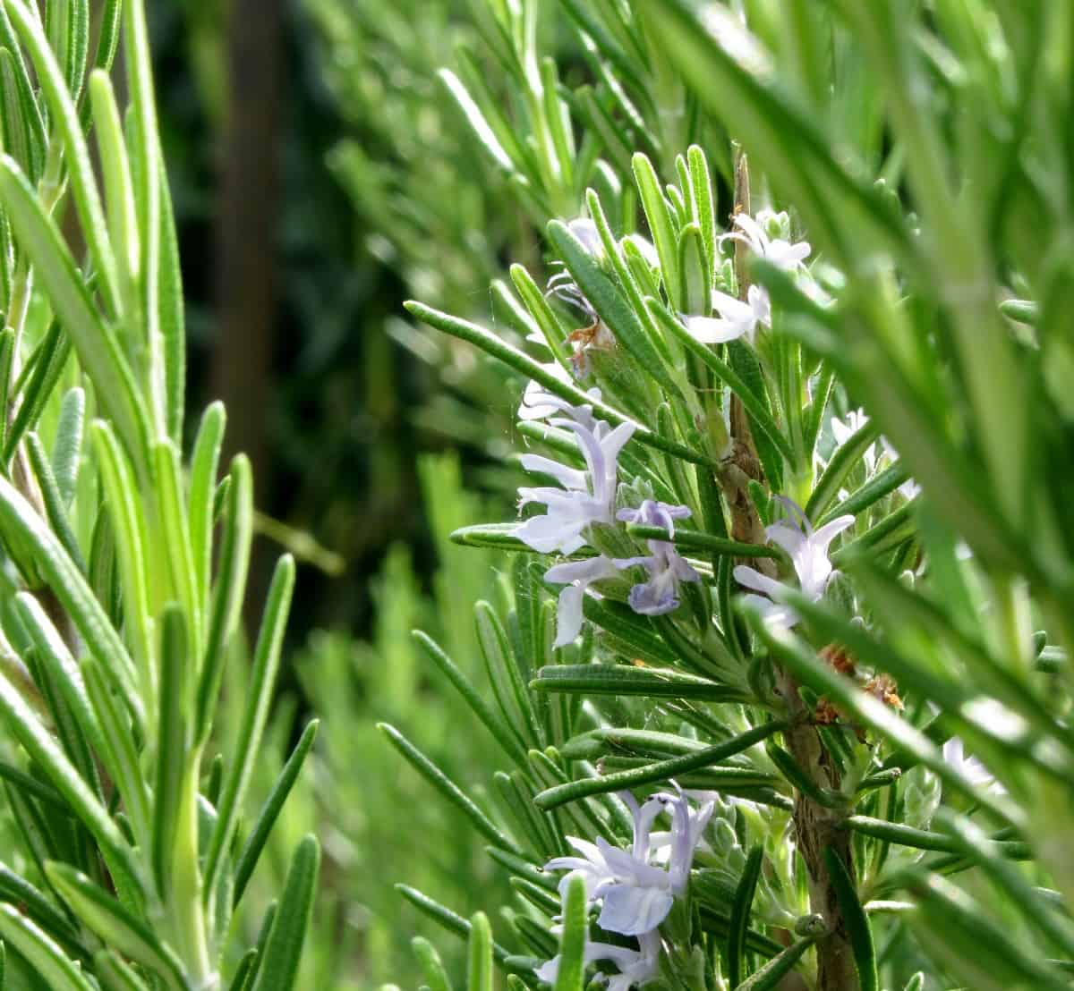 rosemary is a perennial herb that is easy to grow