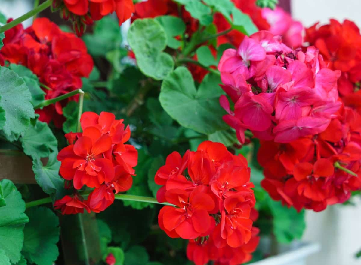 scented geraniums come in a wide variety of delicious smells