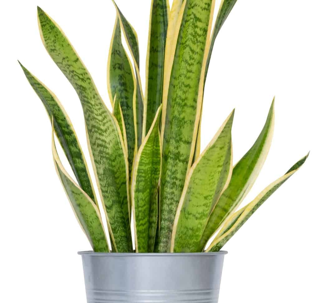 the snake plant is popularly known as Mother-in-Law's Tongue