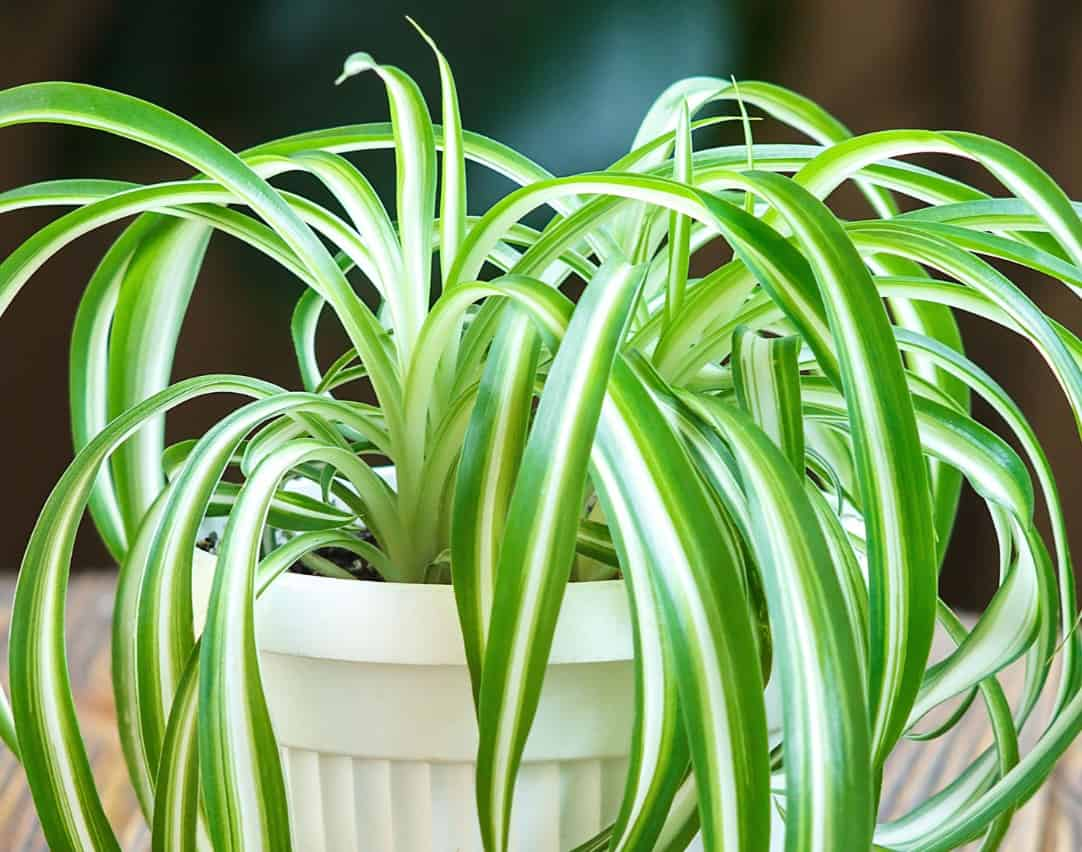 spider plants are low-light houseplants