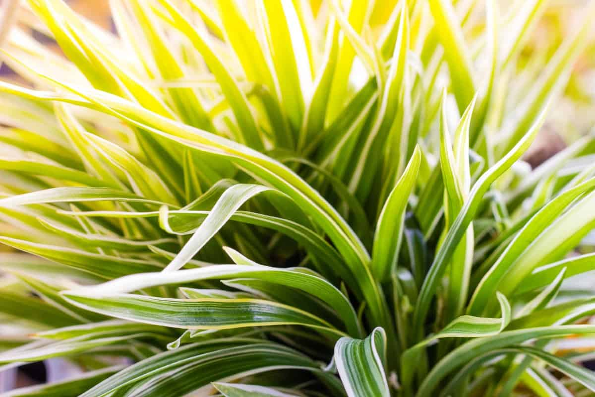 a spider plant is perfect for the bedroom